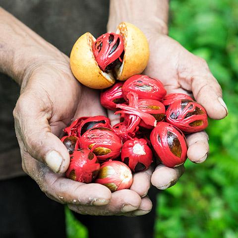 Nutmeg in Banda Islands