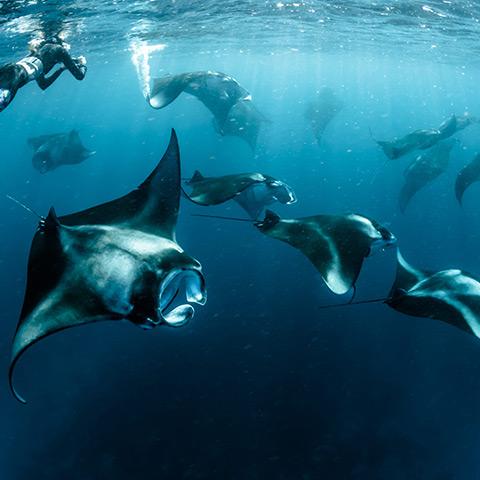 Manta Rays Diving and Snorkeling Komodo