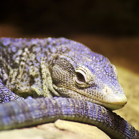 Blue Spotted Monitor Lizard