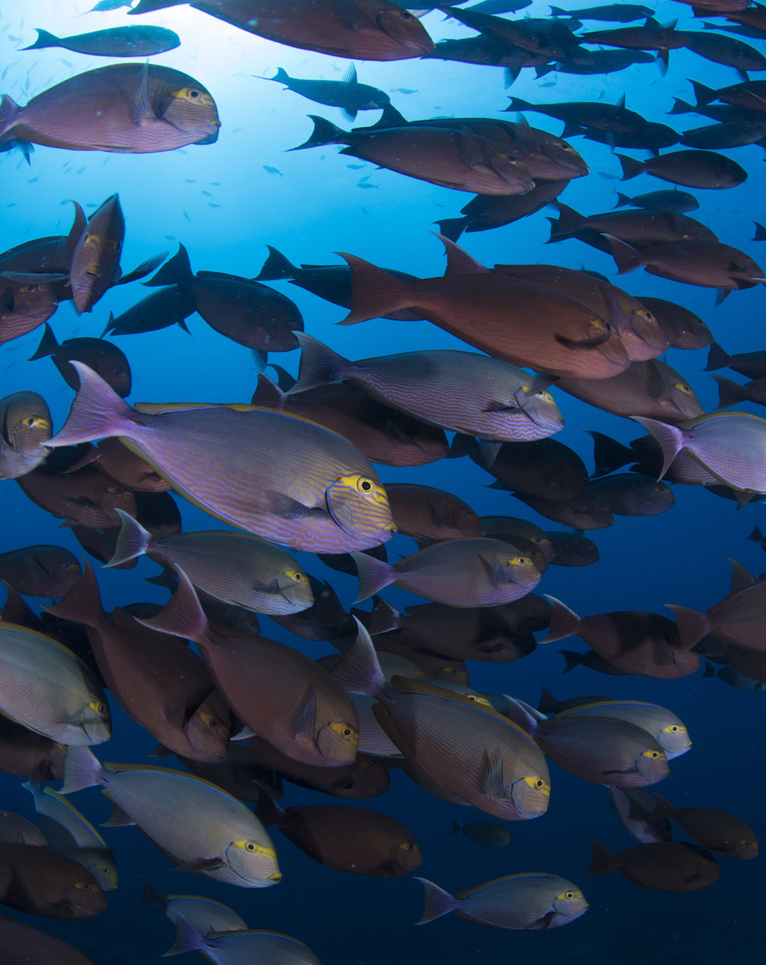 Chicken Reef Raja Ampat