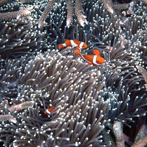 Clownfish Family