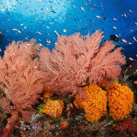 Corals in Misool