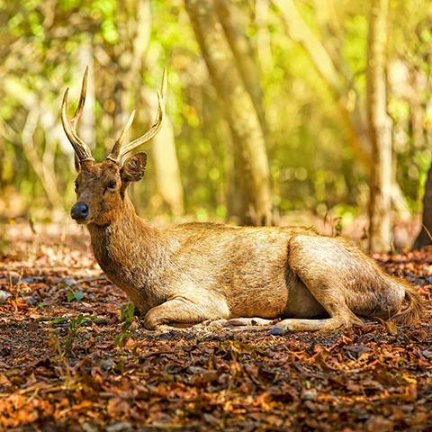 Komodo Timor Deer