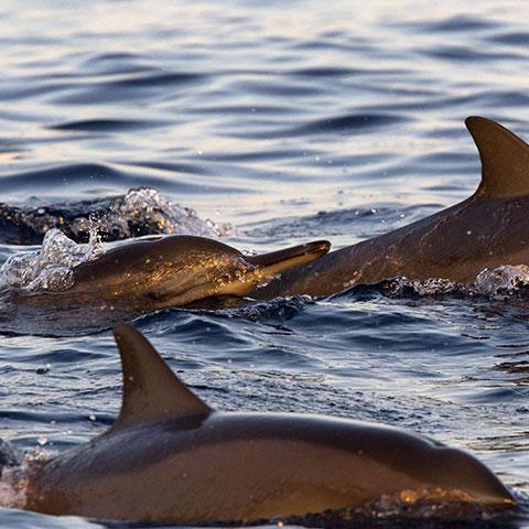 Dolphin Family Komodo
