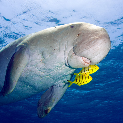 Dugong in South-East Asia