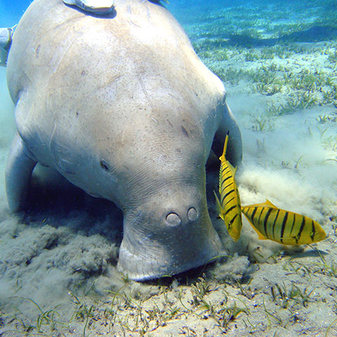 Where to see Dugong