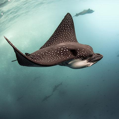 Eagle Ray and Sharks Komodo