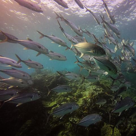 Fish Drifting Komodo Castle Rock