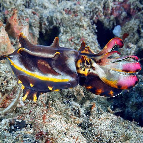 Flamboyant Cuttlefish in Komodo