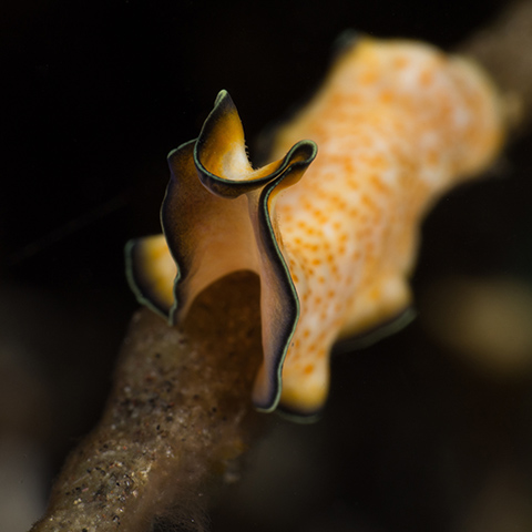 Flatworm in Mawan Komodo
