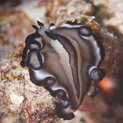 A Bicolor Flatworm