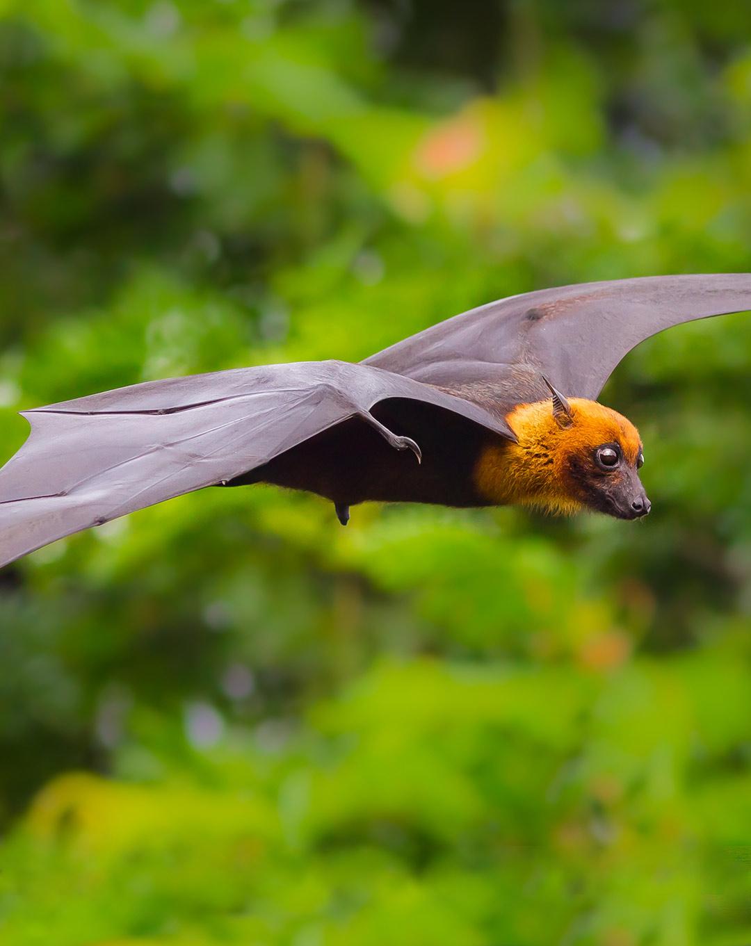 Giant Fruit Bat in Kalong Island