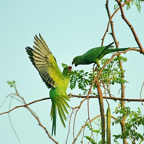 Green Parrots in Raja Ampat