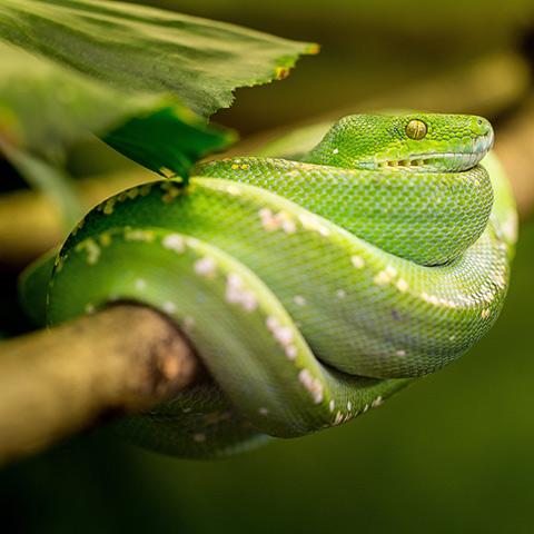 Green Python Resting on a Tree