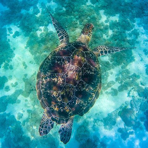 Hawksbill Turtle Mawan