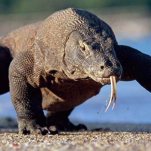 How big is the Komodo Dragon