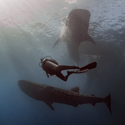 How large is a Whale Shark