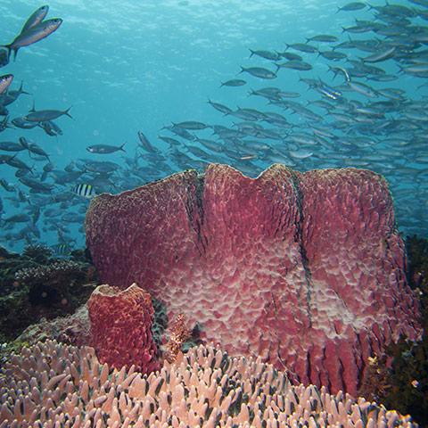 Huge Barrel Sponge in Fam Islands