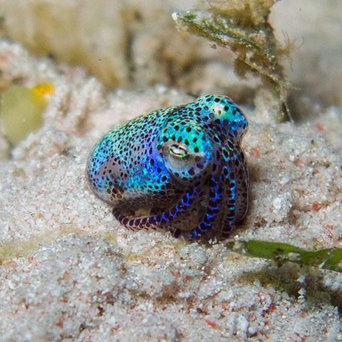 Bobtail Squid Komodo