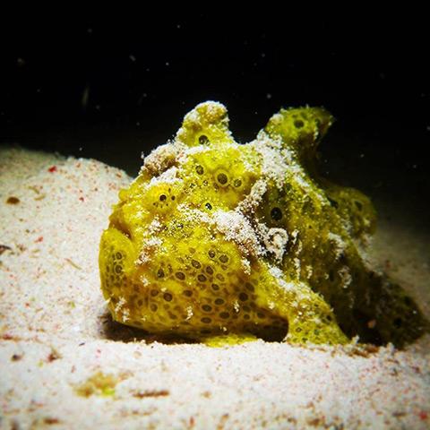 Juvenile Frogfish in Siaba Besar