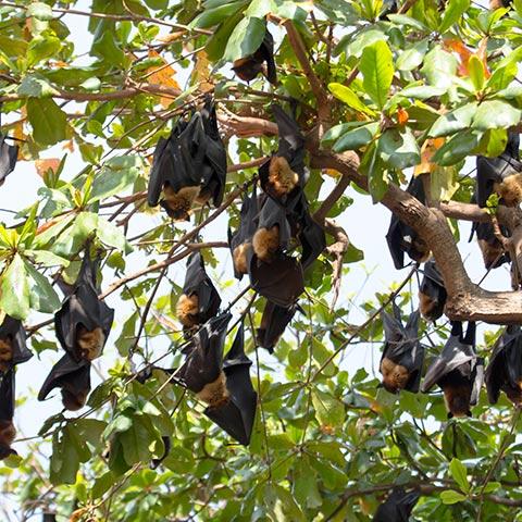 Kalong Flying Foxes on Kalong Mangrove
