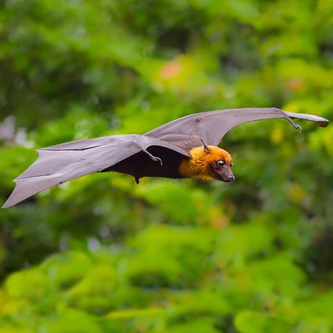 Kalong Giant Fruit Bat