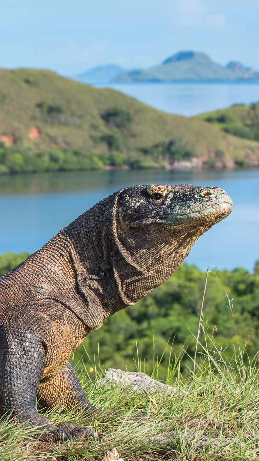 Komodo National Park Dragon