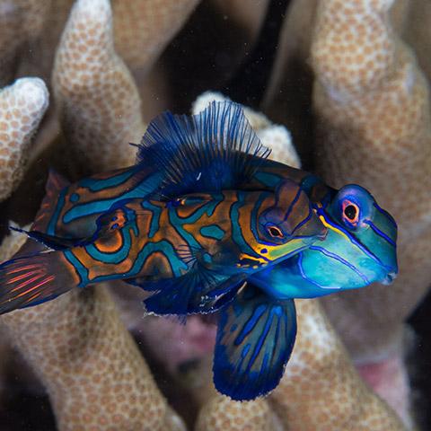 Mandarin Fish in Siaba Kecil