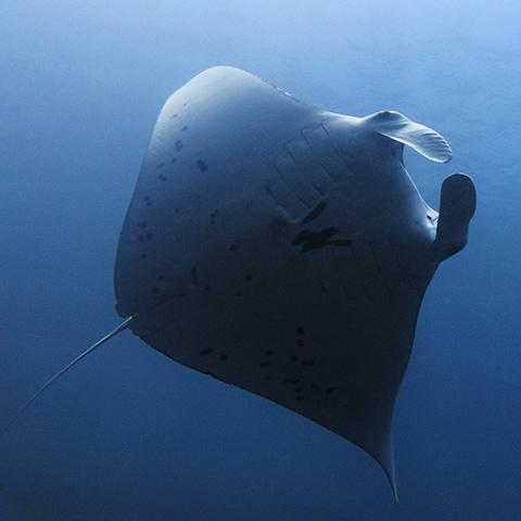 Manta Alley Dive Site Komodo