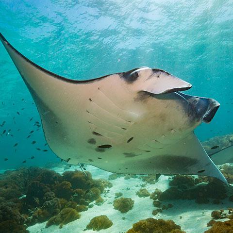 Manta ray at the cleaning station Makassar Reef Komodo