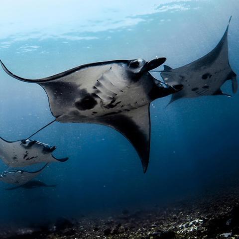 Manta Point Komodo Makassar Reef