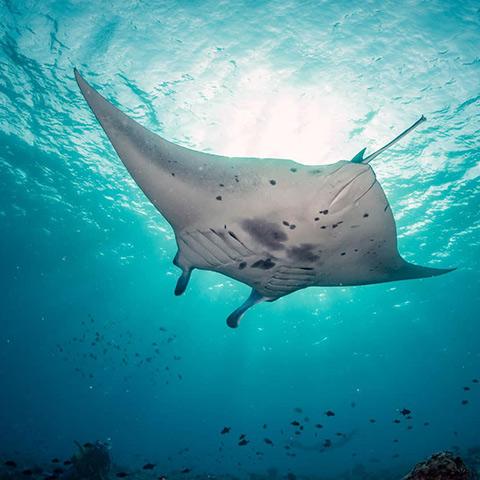 Manta Ray Diving Komodo