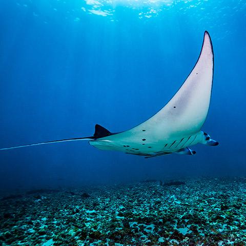 Manta Ray in Makassar Reef Komodo Manta Point