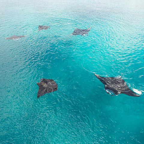 Snorkeling with Manta in Komodo