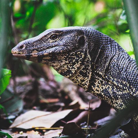 Monitor Lizard Raja Ampat