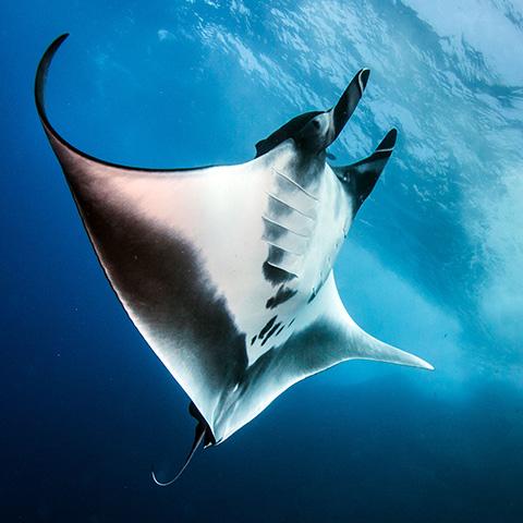 Oceanic Manta Ray Raja Ampat