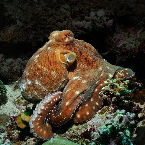 Octopus on Fam Islands Reef