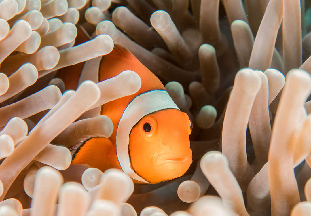 Snorkeling Clownfish in Tulamben