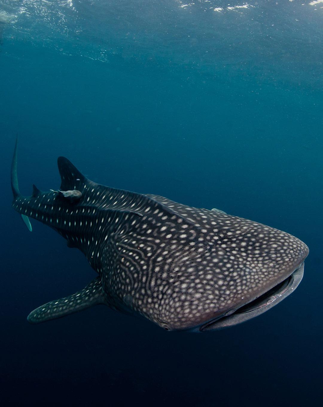 Pelagic Dives in Komodo
