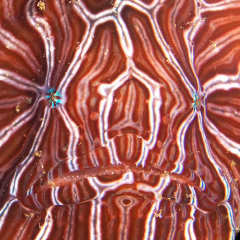 Psychedelic Frogfish