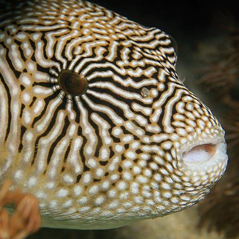 Pufferfish on Komodo Reef