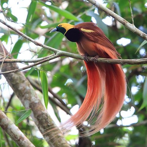 Raja Ampat Bird of Paradise