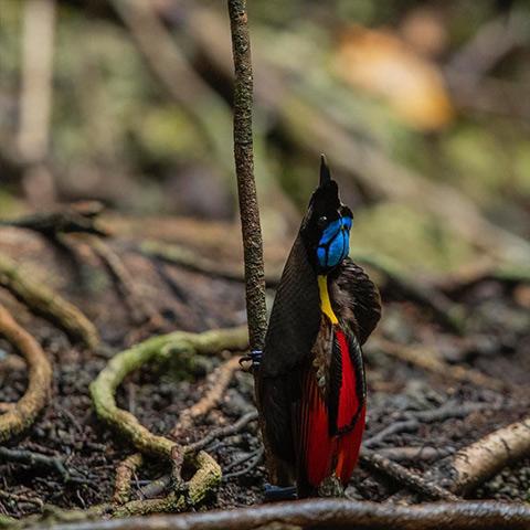 Raja Ampat Diphyllodes Bird of Paradise