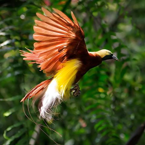 Raja Ampat Paradisaea Red Bird of Paradise
