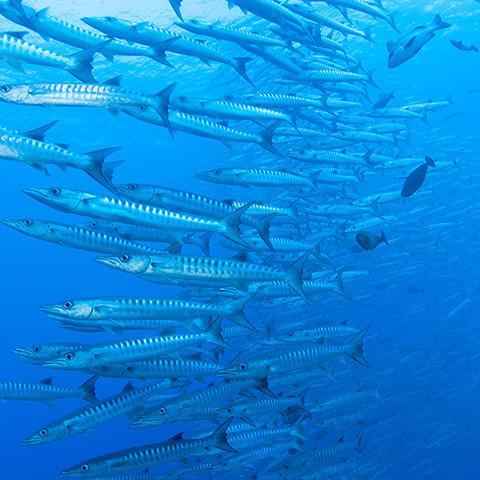 Really Large School of Barracuda
