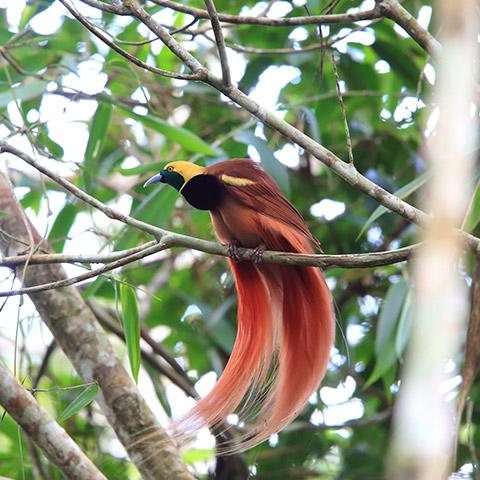 Red Bird of Paradise Raja Ampat