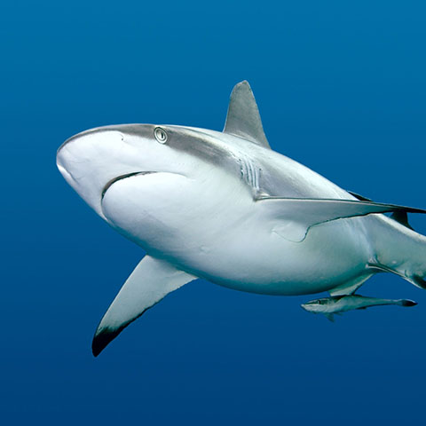 Reef Shark in Komodo