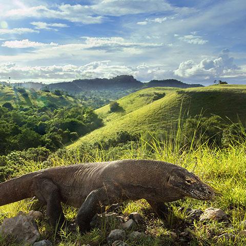 Rinca Island Home of Komodo Dragons