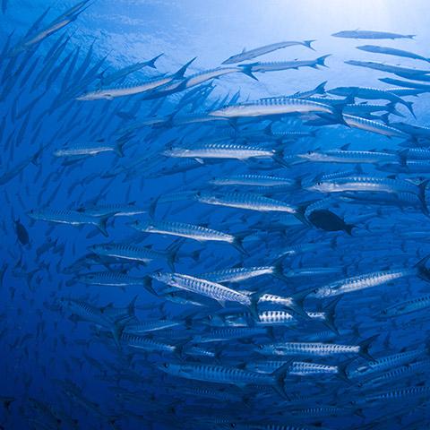 School of Barracudas Drift Dive Komodo