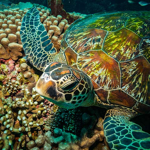 Turtle Chilling on a Coral Table